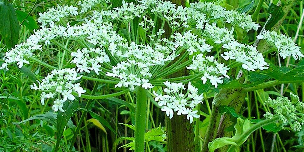 Giant Hogweed can harm humans